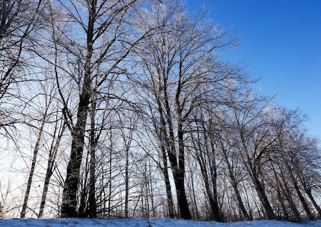 丘の上に生えている木々、斜めの冬の季節のクローズアップ、晴れた日と背景の青い空