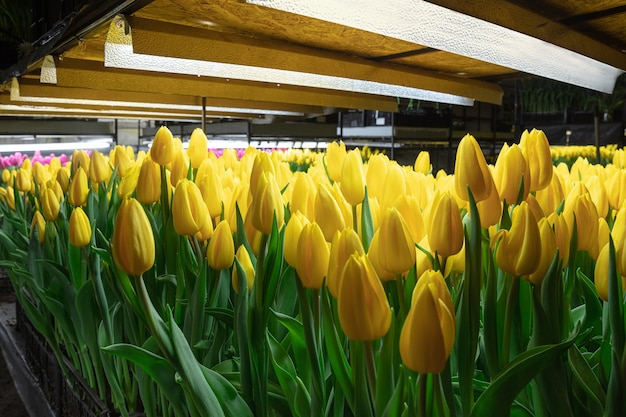 Growing tulips in a greenhouse - crafted manufacture for your celebration. selected spring flowers in shiny yellow colors. mother's, woman's day, preparation for holidays, brightful colors.