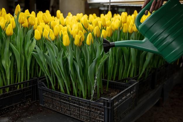 Tulipani in crescita in una serra - produzione artigianale per la tua festa
