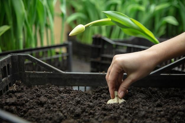 Tulipani in crescita in una produzione artigianale in serra per la tua festa