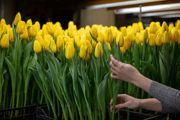 Growing tulips in a greenhouse  crafted manufacture for your celebration
