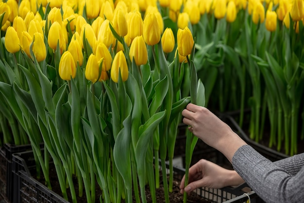Growing tulips in a greenhouse