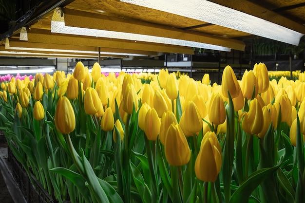 温室で育つチューリップ-あなたのお祝いのために細工された製造。光沢のある黄色の厳選された春の花。母の、女性の日、休日の準備、明るい色。