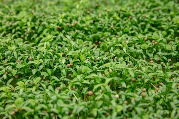 温室でチューリップを育てる - あなたのお祝いのために作られた製品。厳選された春の花。