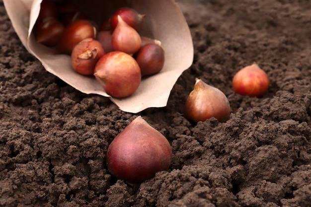 屋外で成長するチューリップ。あなたの庭の秋に地面にチューリップの球根を植えます。