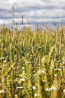잡초가있는 들판에서 자라 여름에는 밀 이삭