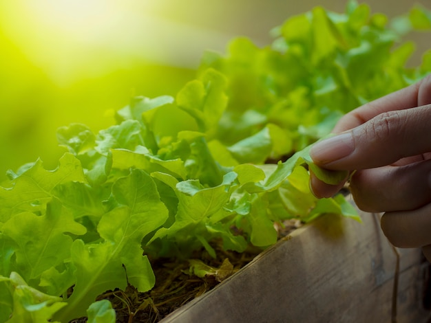 Growing vegetables and green leafy vegetables. it is a food for health lovers.