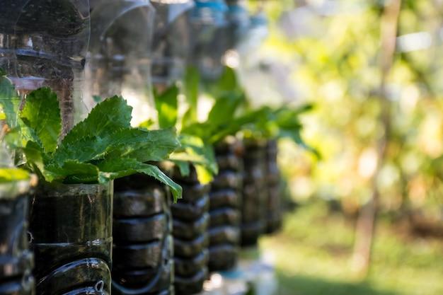 Growing vegetables (parsley or culantro) in used plastic bottles