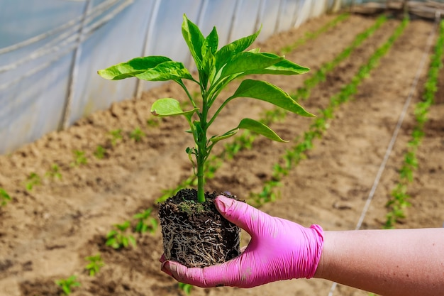Growing vegetables. planting sweet pepper seedlings in the ground. ecology. organic farming. agriculture.