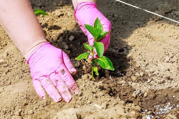 야채 재배. 지상에 달콤한 고추 모종 심기. 생태학. 유기농. 농업.
