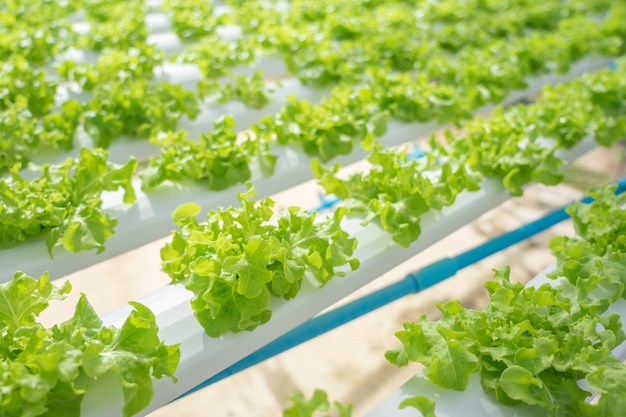 Growing vegetables without using soil or calling another type hydroponic vegetable