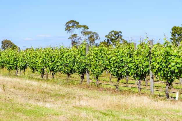 Growing vineyard