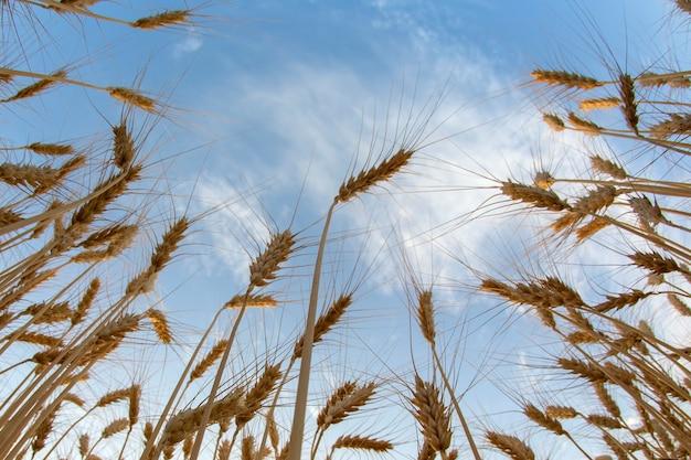 흐린 하늘 배경에 밀 성장. 농업 경제학과 농업. 음식 산업.