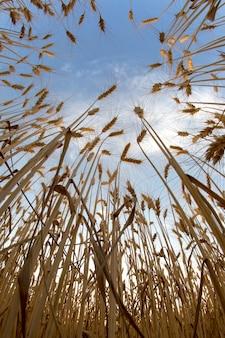 Выращивание пшеницы на фоне пасмурного неба. агрономия и сельское хозяйство. пищевая промышленность. Premium Фотографии