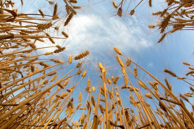 Выращивание пшеницы на фоне пасмурного неба. агрономия и сельское хозяйство. пищевая промышленность.