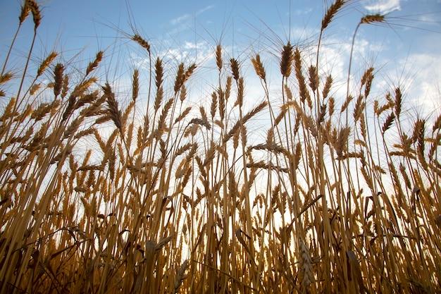 Выращивание пшеницы на фоне облачного неба. агрономия и сельское хозяйство. пищевая промышленность.