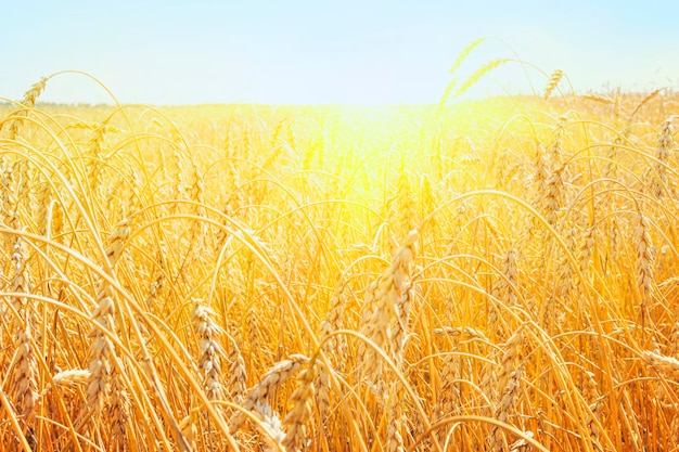 Growing wheat in the field. the rural nature. agricultural industry. golden wheat field in summer. sunrise on the wheat field with rye. summer wheat agriculture background. landscape