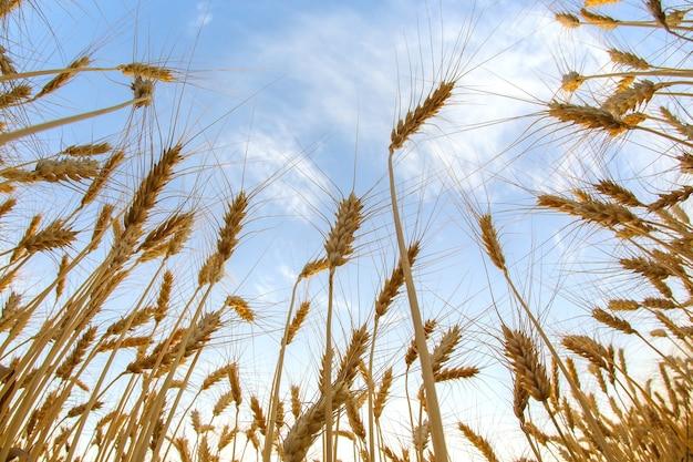 Растущая пшеница облачного неба. агрономия и сельское хозяйство. пищевая промышленность.