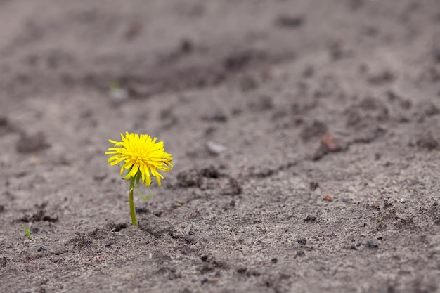 Growing  yellow flower sprout