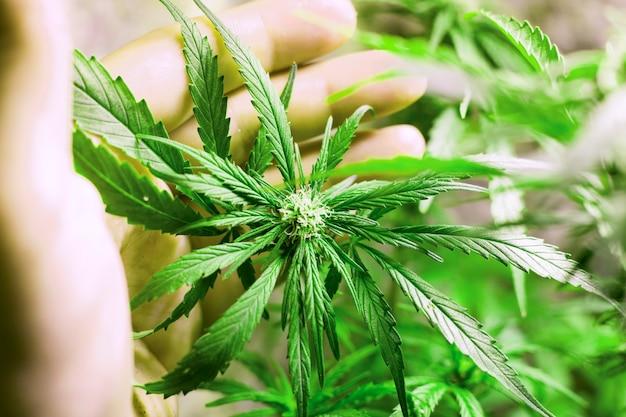 Выращивание молодого растения каннабис