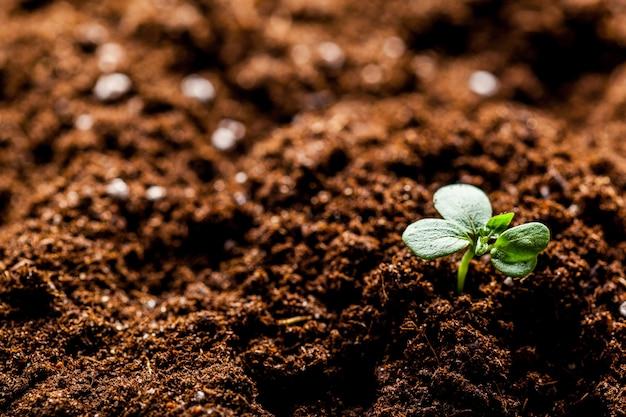 栽培農業農場で成長している若いグリーンコーン苗