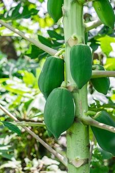 나무에 성장하는 어린 녹색 파파야를 닫습니다.