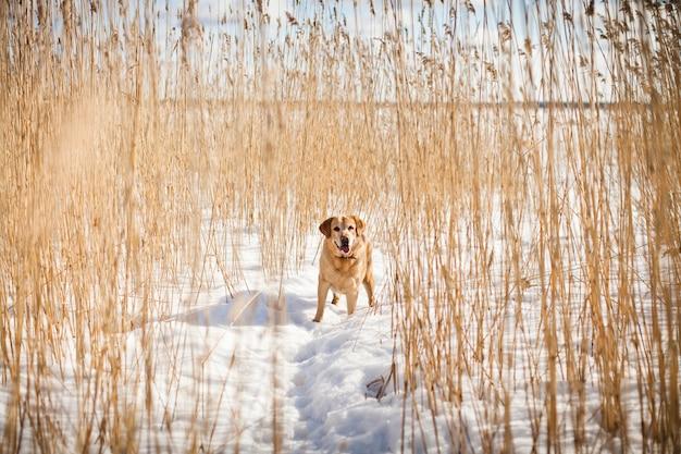 Взрослый лабрадор ретривер гуляет в солнечный зимний день среди сухих тростников в снегу