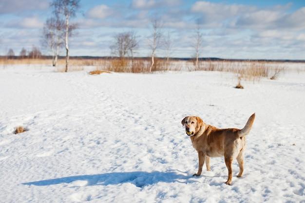 Взрослый лабрадор ретривер гуляет в солнечный зимний день в снежном поле