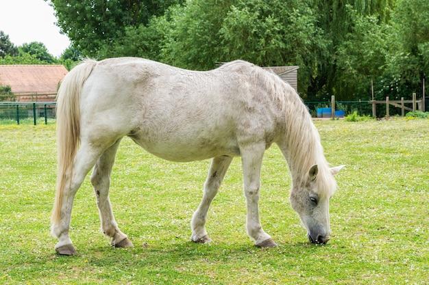 Grown white horse eats grass on the farm.