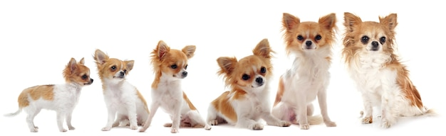 Growth of  purebred  chihuahua isolated on white