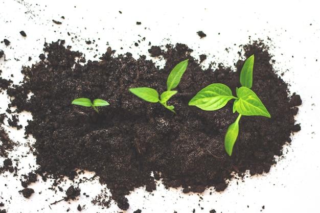 성장 순서(growth sequence) - 흰색 배경에 대해 격리되어 점차적으로 키가 커지는 일련의 묘목입니다. 호박 묘목은 토양에서 자랍니다.
