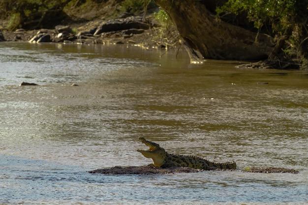 Река грумети. на мелководье отдыхает крокодил. танзания, африка