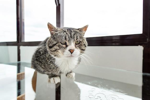 Сварливый кот сидит на поверхности стеклянного стола на застекленном балконе и смотрит в сторону грустными глазами