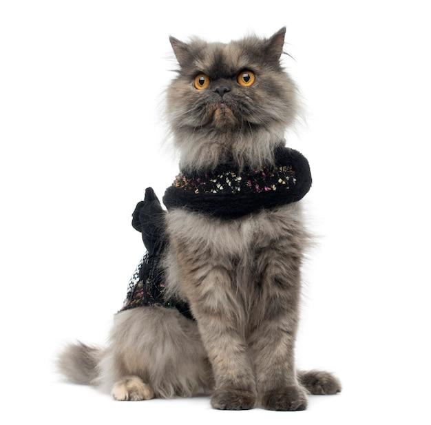 흰색 절연 앉아 반짝 하네스를 입고 심술 페르시아 고양이