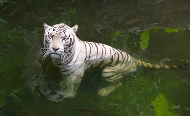 Grumpy white bengal tiger in water