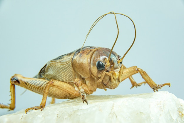 Gryllidae or cricket close-up