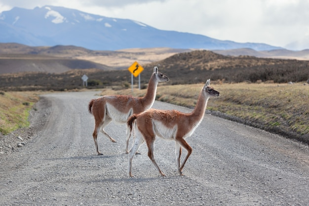 Guanaco on the road torres del paine national park.