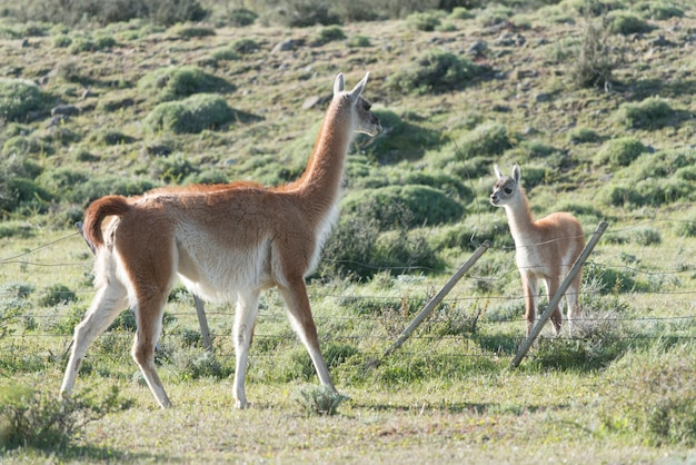 Guanacos (lama guanicoe) in field, torres del paine national park, patagonia, chile