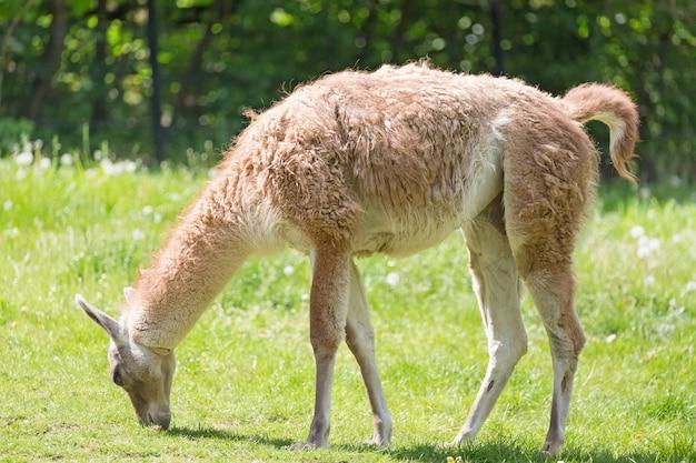 Закройте вверх по портрету пасти guanicoe ламы гуанако ламы на зеленой траве.