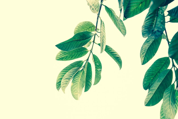 Guava leaves close up. retro filter