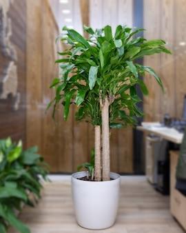 Гвианский каштан, водная pachira, денежное дерево в офисе