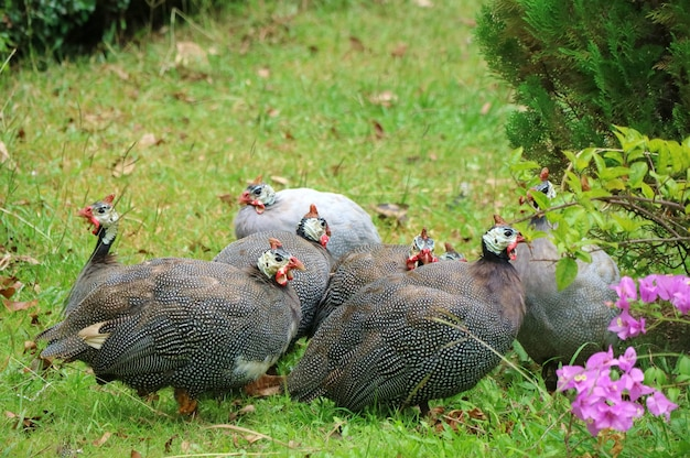 Guinea fowls walking and looking for food in the ground. big family.