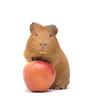 モルモットと赤いリンゴ