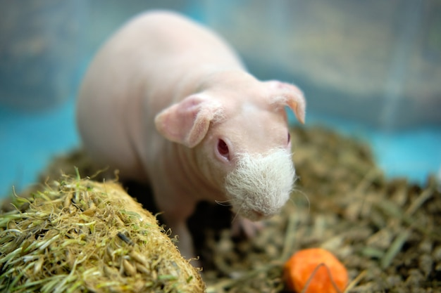 Guinea pig bald funny with paws, cavia porcellus red on litter of sawdust in a boxing cage selective focus , defocused