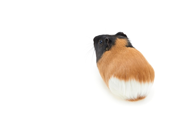 Guinea pig cavia porcellus is a popular pet young tricolor guinea pig on a white background isolated...