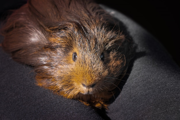 Guinea pig in child's hands, close up.