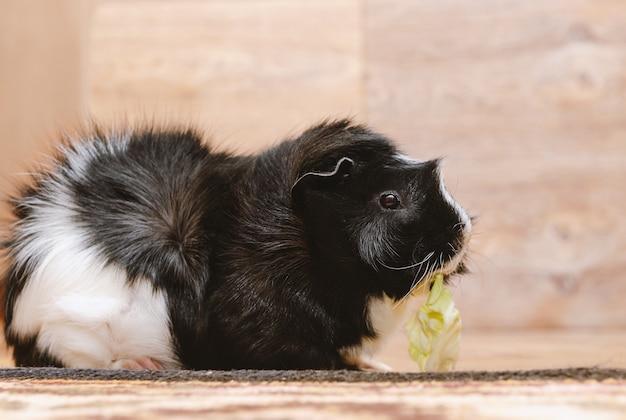 Guinea pig eating cabbage leaf.