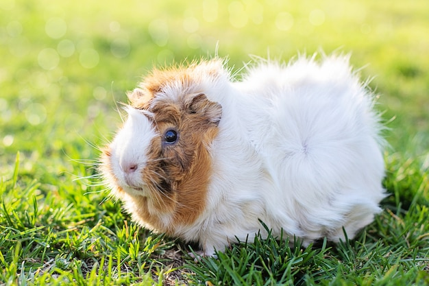 Guinea pig in green grass. fresh greens in pet nutrition. tinted. place for text.