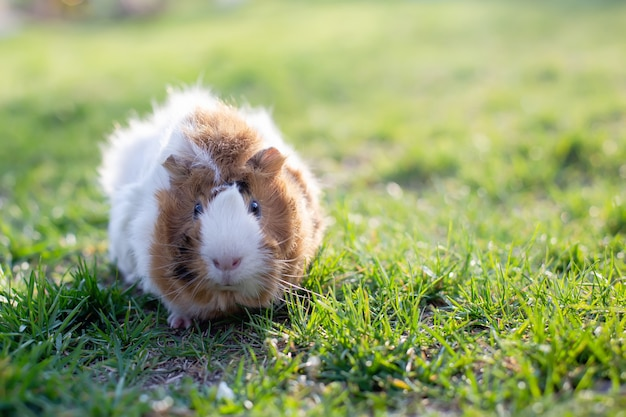 Guinea pig in green grass. tinted. place for text.