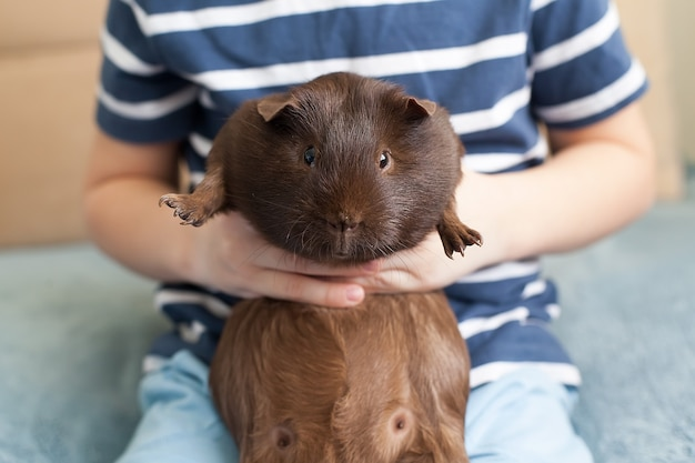 A guinea pig in the hands of a child. pets